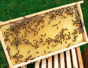 Ausgebaute Honigwabe auf einer Mittelwand